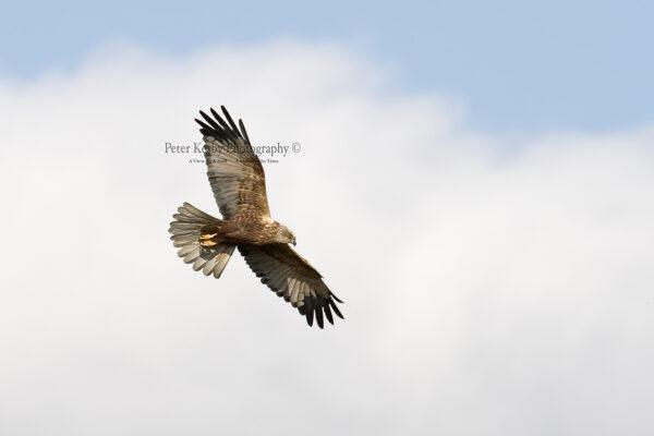 Marsh Harrier #7