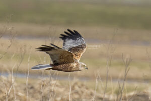 Marsh Harrier #8