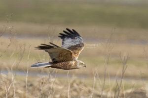 Marsh Harrier #8
