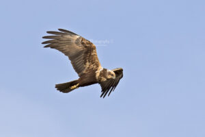 Marsh Harrier #9