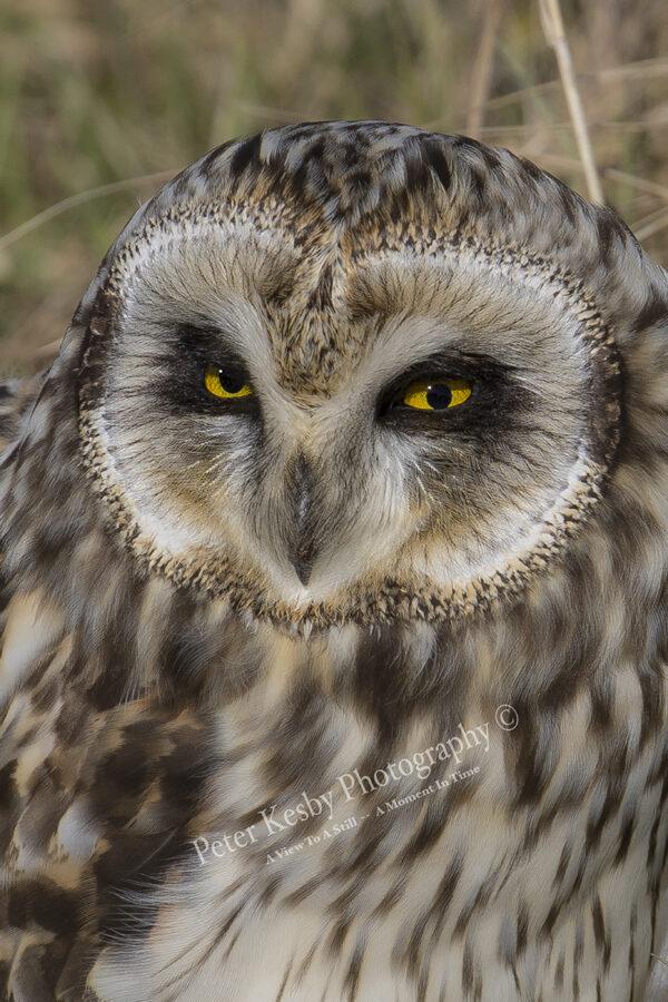 Short Eared Owl #5