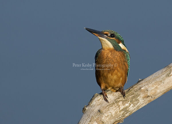 Kingfisher #44