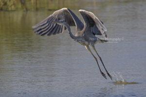 Grey Heron #9