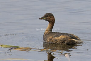Little Grebe #2