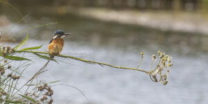 Kingfisher #47