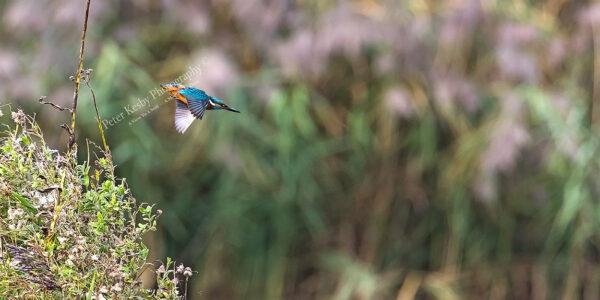 Kingfisher #48