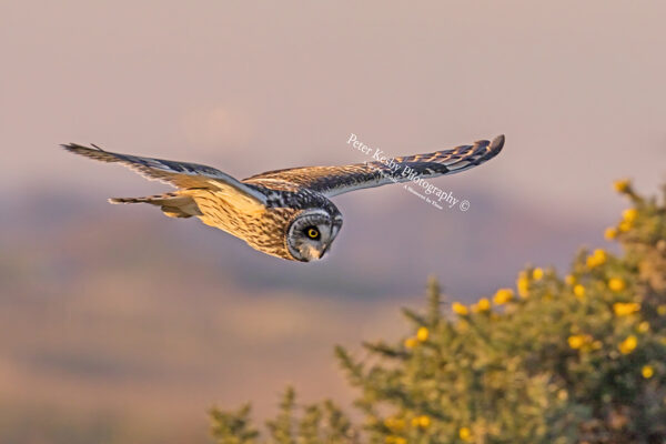 Short Eared Owl #8
