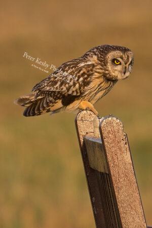 Short Eared Owl #9