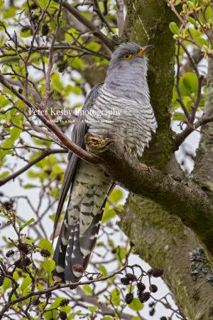 Cuckoo #1