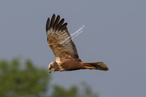 Marsh Harrier #11