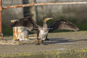 Cormorant #5