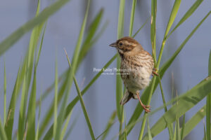 Reed Bunting #3