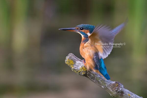 Kingfisher #55
