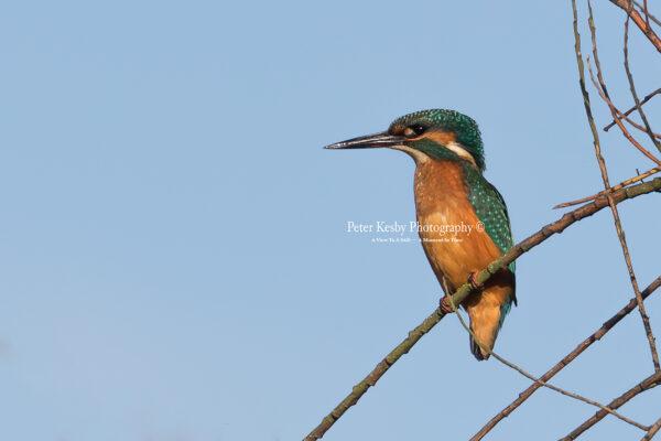 Kingfisher #57
