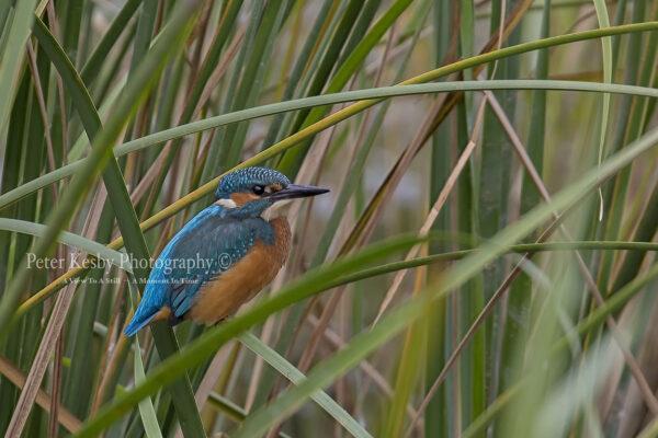 Kingfisher #35