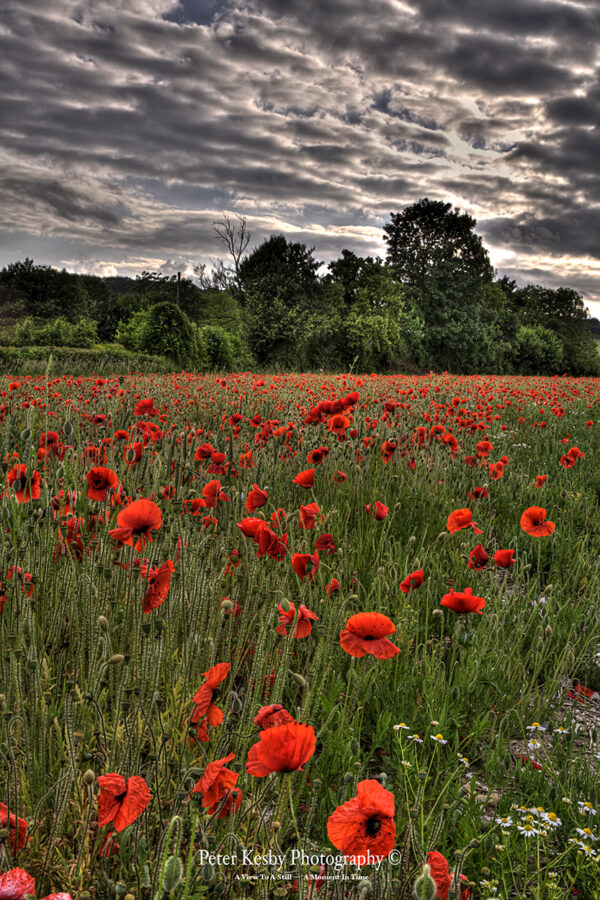 Field Of Poppies - Barham