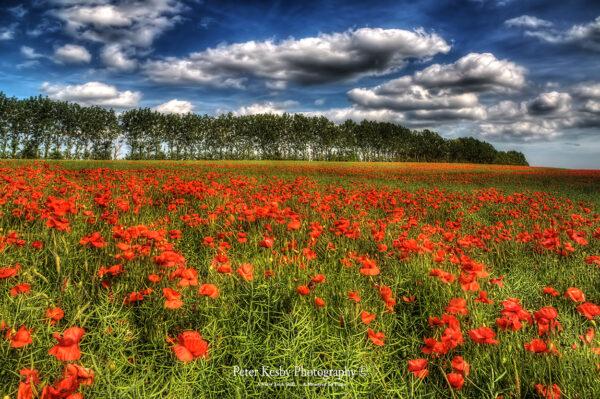 Poppy Field - Bridge - Canterbury