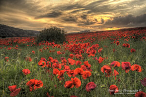 Poppies - Etchinghill - Sunset - #1