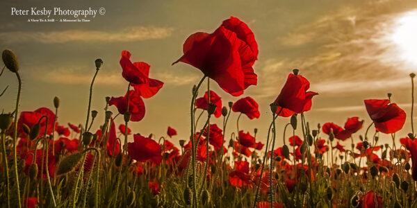 Poppies - Panoramic - Sunset