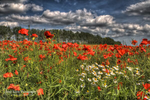 Poppies - Daisies - Bridge - Canterbury