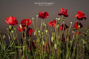 Poppies - A Worm's Eye View