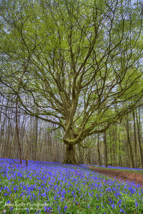 Bluebell Path - Tree