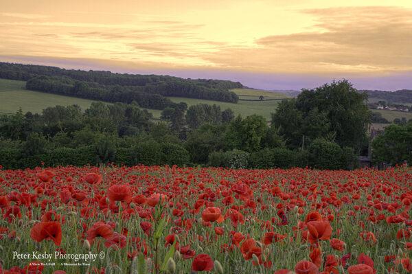 Poppies - Barham - Sunset