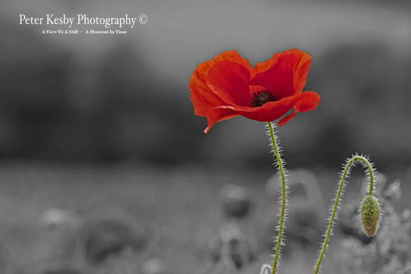 Poppy - Colour Popped #2