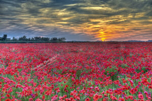 Poppies - Pineham- Sunset