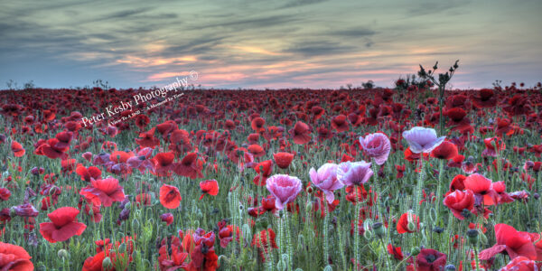 Poppies - A Touch Of Pink