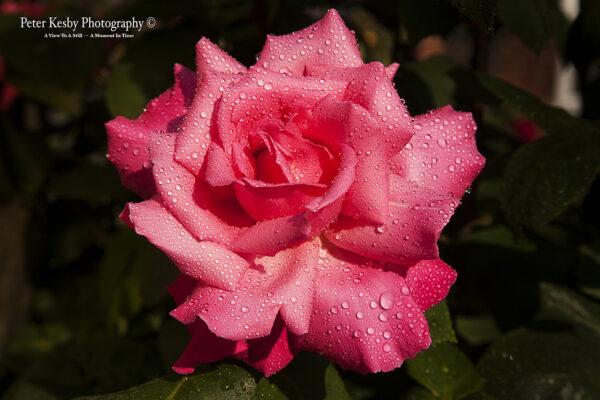 Rose - #2