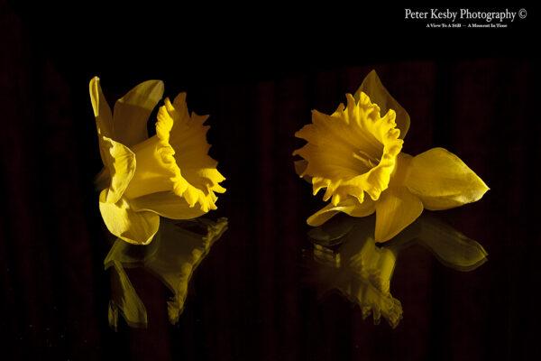 Daffodils - #2