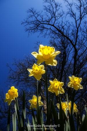 Daffodils - #3