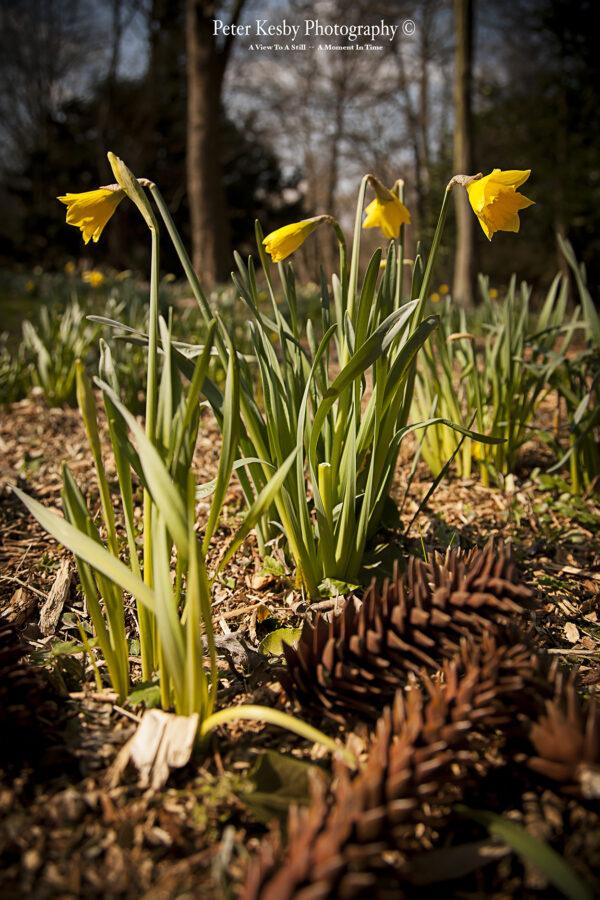 Daffodils - #4