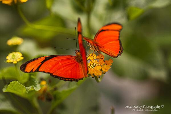 Butterfly - #1