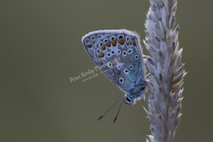 Common Blue #1