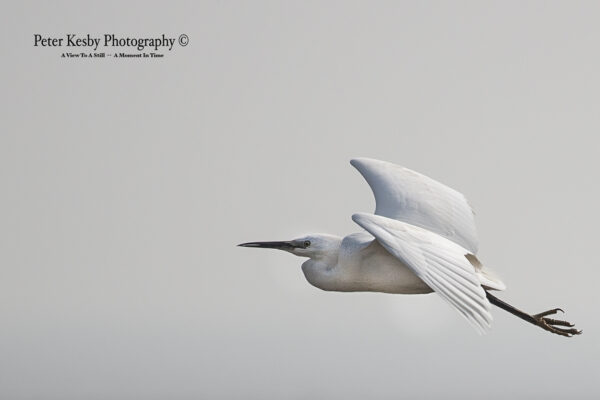 Little Egret #1