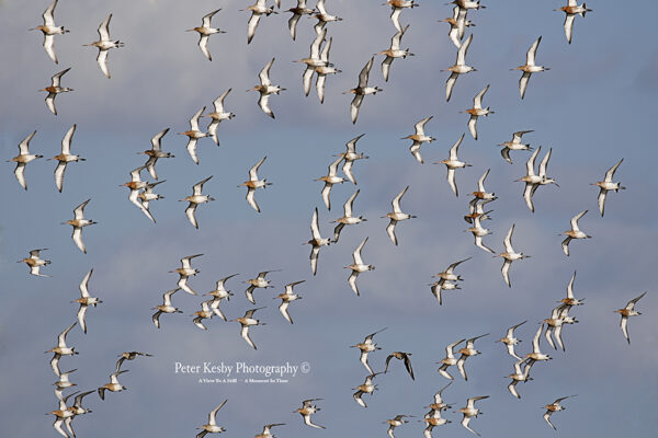 Godwits In Flight