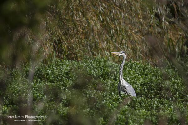 Grey Heron #2