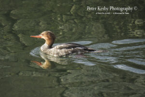 Red Breasted Merganser #2