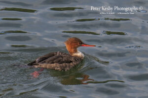 Red Breasted Merganser #3