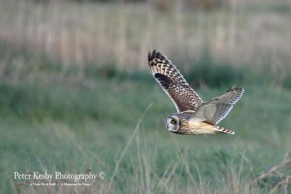 Short Eared owl In Flight #1