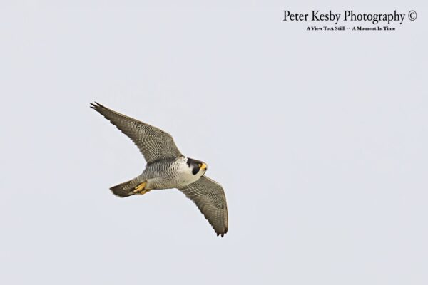 Peregrine In Flight #1