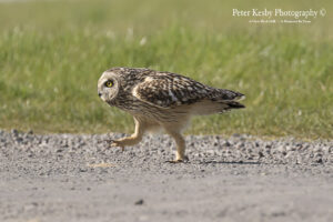 Short Eared Owl Walking With attitude