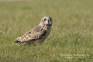 Short Eared Owl #2