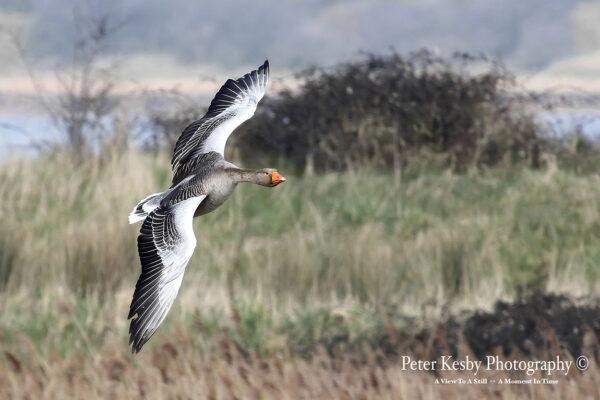 Greylag Goose In Flight #1