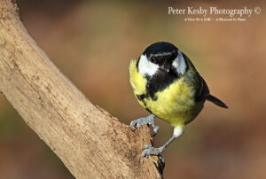 Great Tit #1