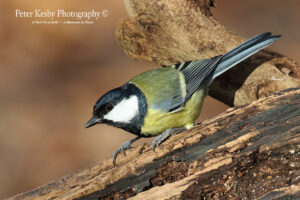 Great Tit #2