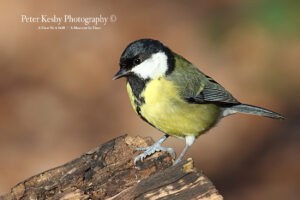 Great Tit #3