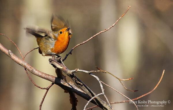 Robin #4